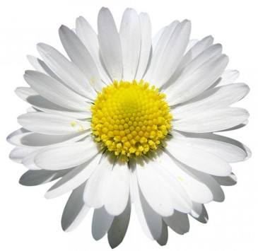 cropped-daisy-png.jpg